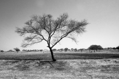 A bare tree stands tall on an empty field, Maharashtra 2016.